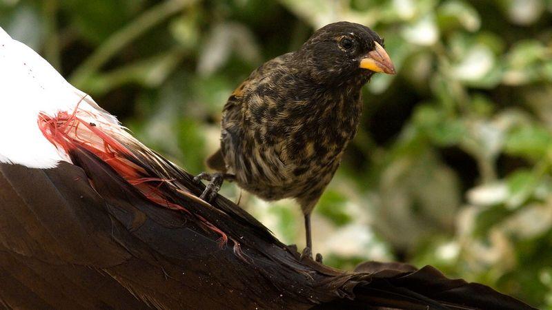 Burung Vampire Finch (animalspot.net)
