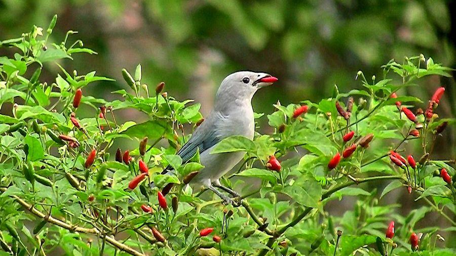 Cabai Pakan Alternatif Untuk Menjadikan Burung Cepat Gacor