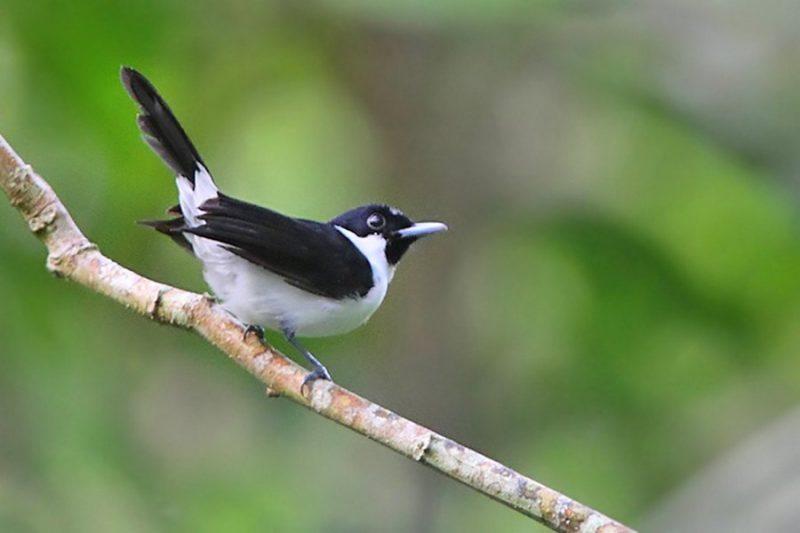 Kehicap Boano (burungocehan.link)