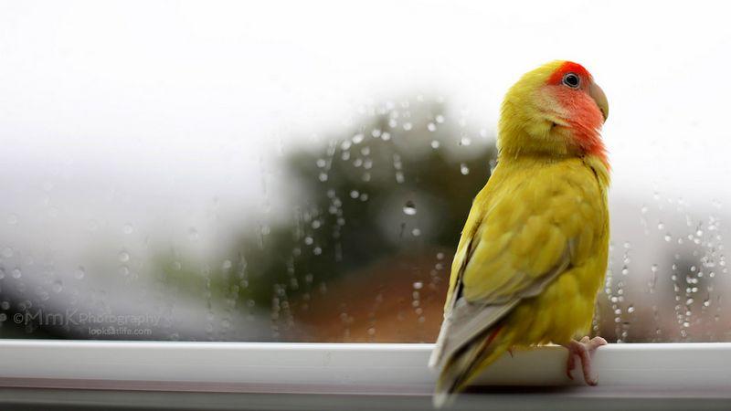 Perawatan burung Lovebird di musim hujan (hiveminer.com)