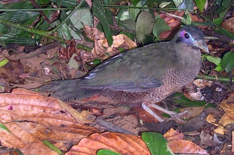Tokhtor Sumatera (speciesonthebrink.org)