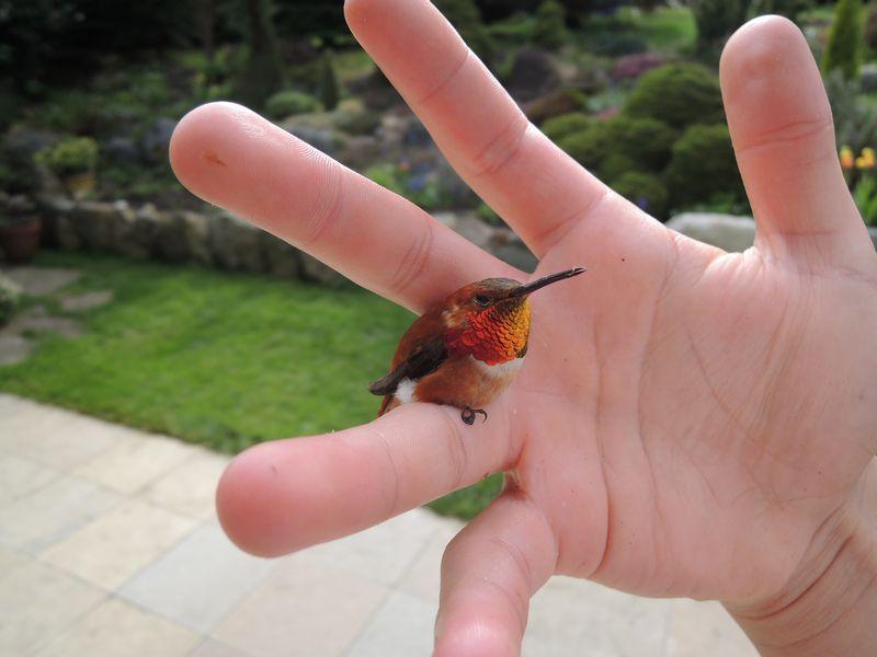 Burung Kolibri Lebah (2il.org)