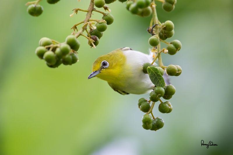 Cara Mudah Mengetahui Kondisi Kesehatan Burung Pleci dari Bentuk Kotoran