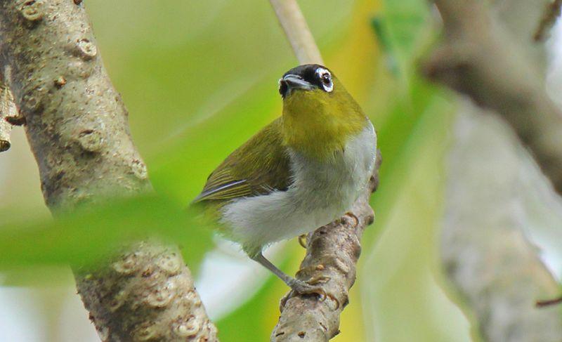 Miris, Banyak Spesies Burung Pleci Hilang Karena Perburuan Liar
