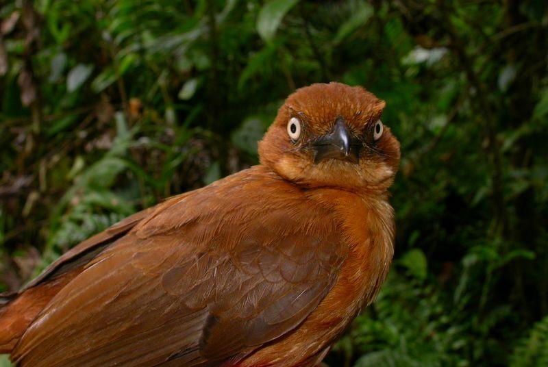 Burung Rusty pitohui