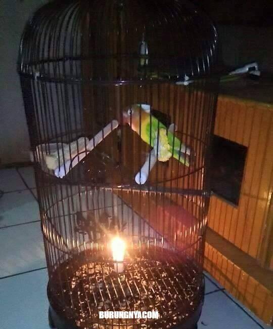 Lilin dapat mencegah burung turun dari tangkringan (facebook.com/burungnyadotcom)