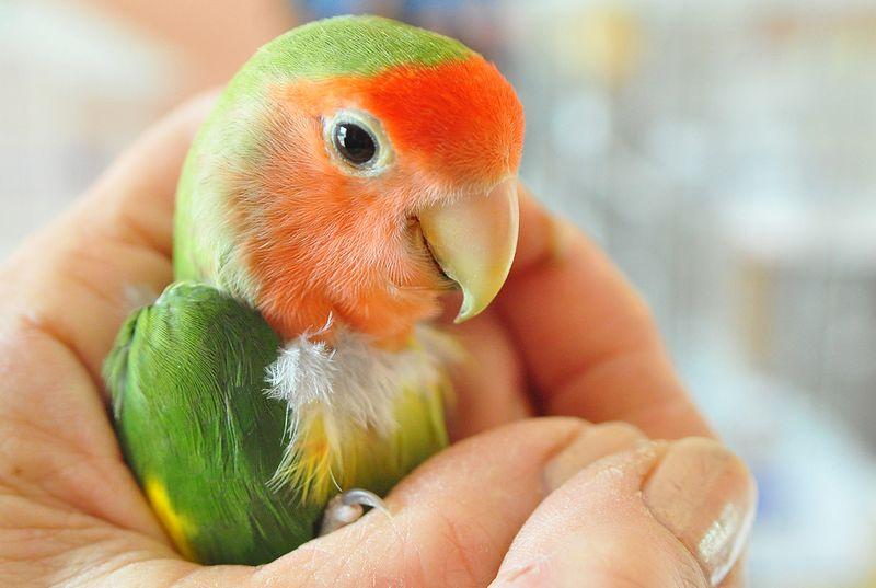 Suara burung Lovebird (shinyshiny.tv)