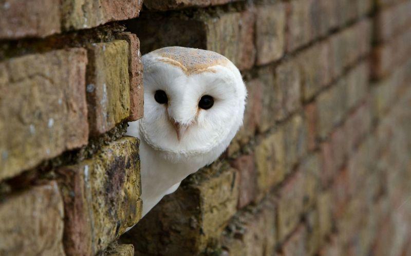 Burung African White Masked Owl (volvoab.com)