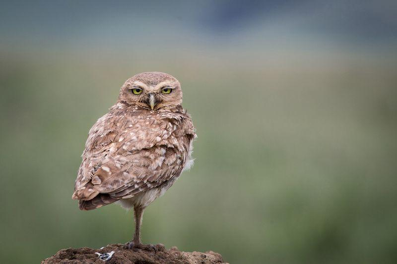 Burung Burrowing Ow (audubon.org)