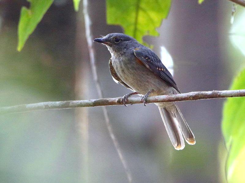 Burung Cinereous mourner dewasa (hbw.com)