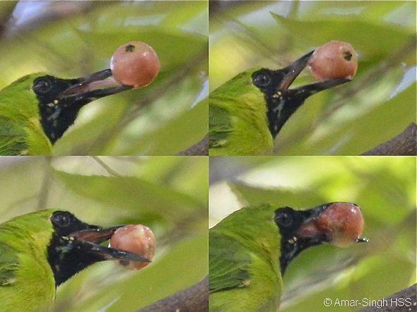 Burung Cucak Ijo makan buah Kersen (besgroup.org)