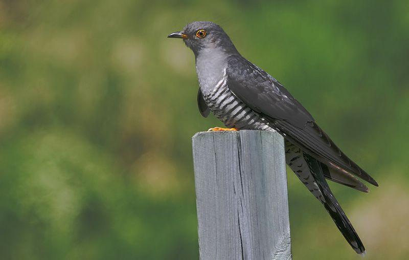 Burung Eurasian Cuckoo (birdsbyjohn.com)