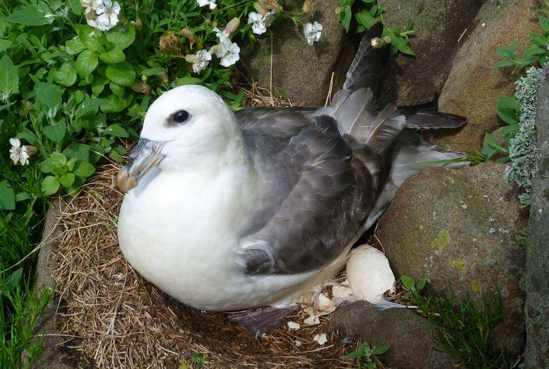 Burung Fulmar Chick (isleofmaynnr.wordpress.com)
