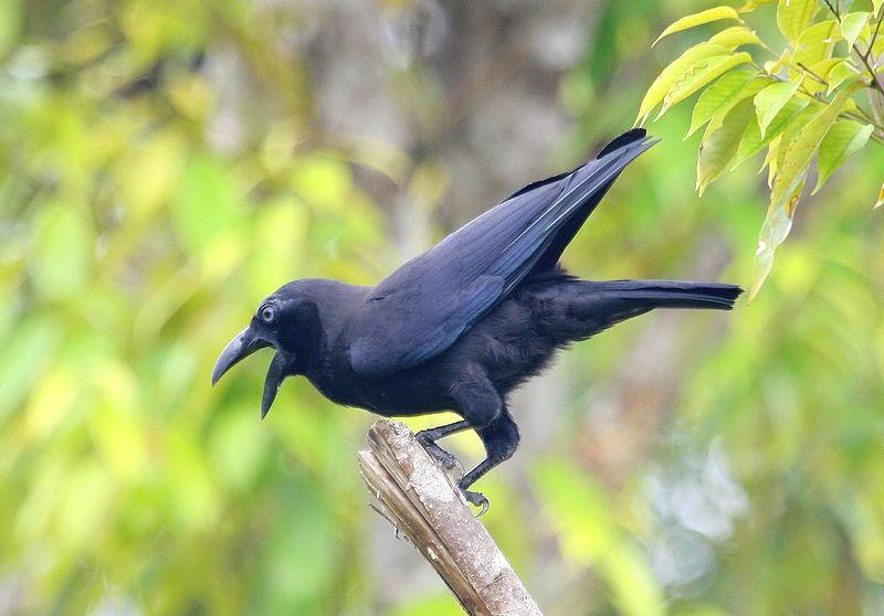 Burung Gagak (msu.edu)
