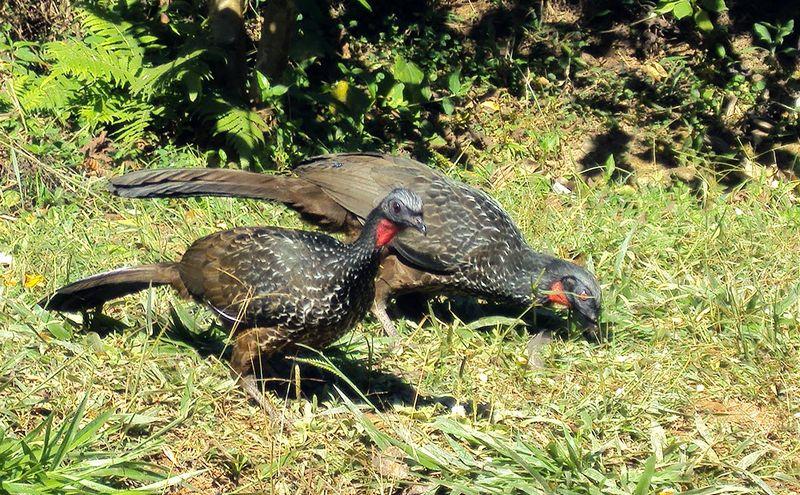 Burung Jacu (modernfarmer.com)