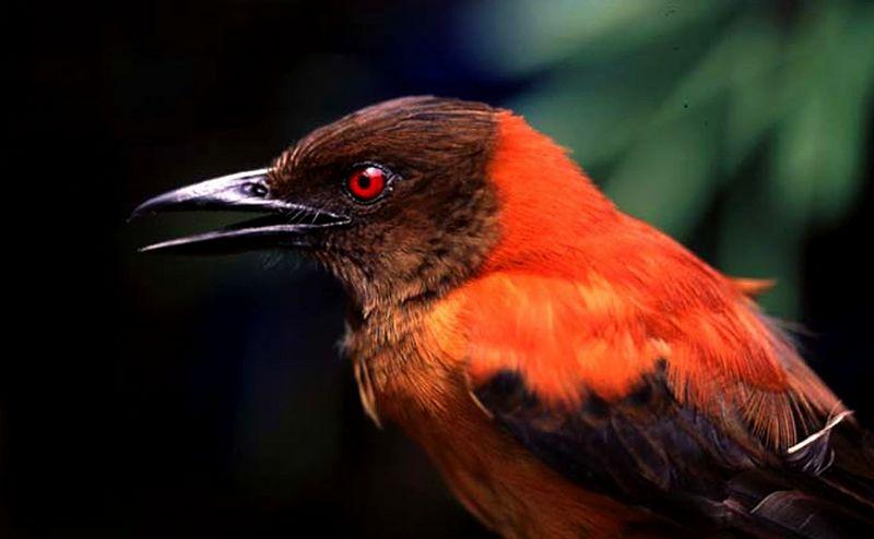 Burung Pitohui (youtube.com)