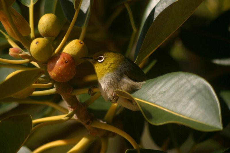 Burung Pleci (hbw.com)