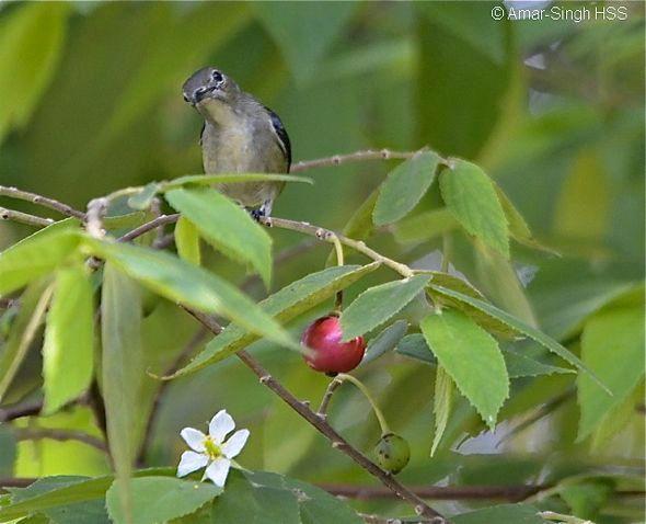 Burung makan buah Kersen (besgroup.org)