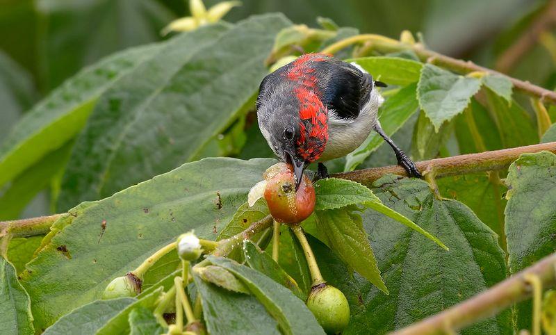 Burung makan buah Kersen (clubsnap.com)