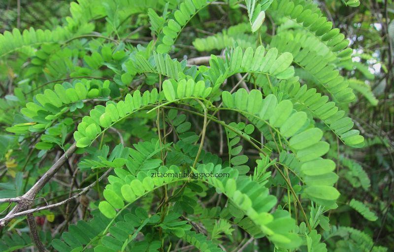 Daun saga (zitaomar.blogspot.com)