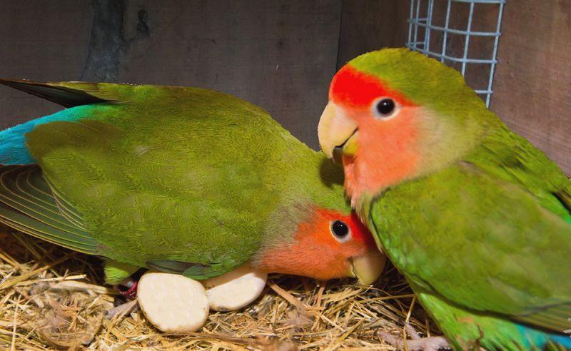 Lovebird cepat bertelur (lovebirdvalley.com)