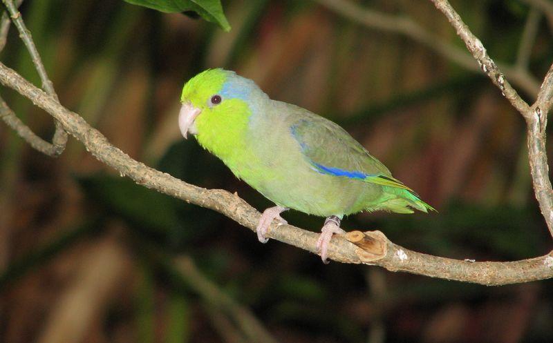 Burung Pacific Parrotlet (pinterest.com)