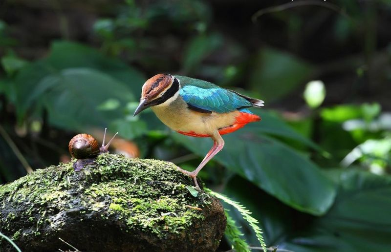 Burung makan bekicot (animalwall.xyz)