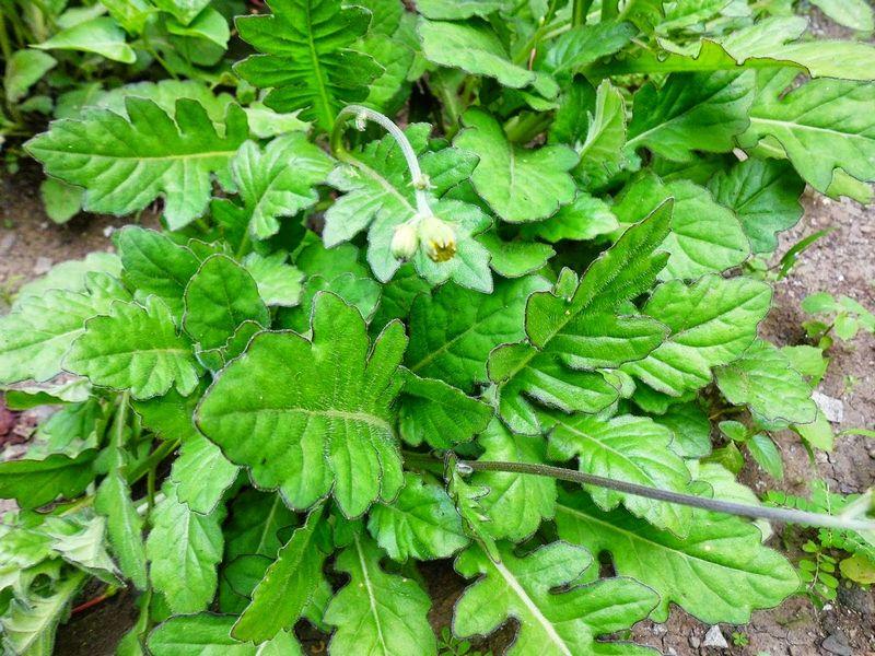 Daun dewa (ramua-herbal-sehat.blogspot.com)