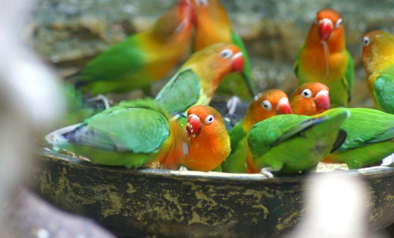 Kampung Lovebird Sumenep (flickr.com)