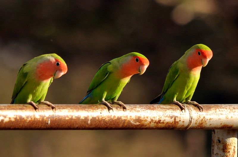 Kumpulan Tips Memilih dan Melatih Lovebird Balibu Ala Pakar Lovebird