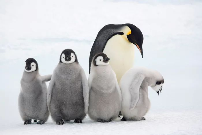 Anak Penguin Emperor (Bryan and Cherry Alexander-WWF-theguardian.com)