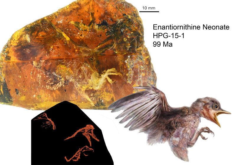 Fosil burung Enantiornithine (Ryan McKellar-gizmodo.com)
