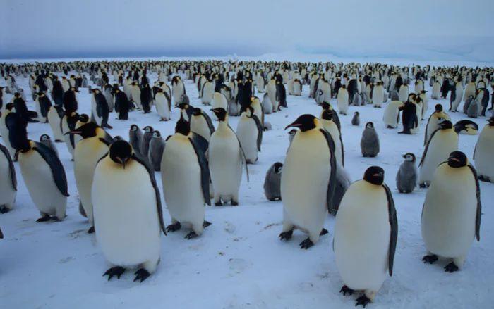 Koloni Penguin Emperor (Fritz Pölking-WWF-theguardian.com)