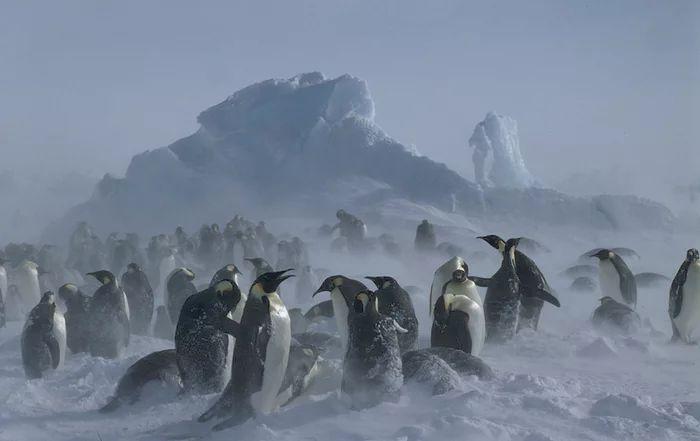 Penguin Kaisar di Antartika (Fritz Pölking-WWF-theguardian.com)
