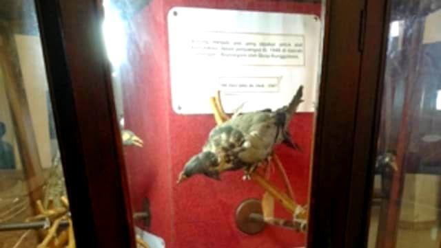 Burung Merpati Pos di Museum Brawijaya Malang (enggar.net)