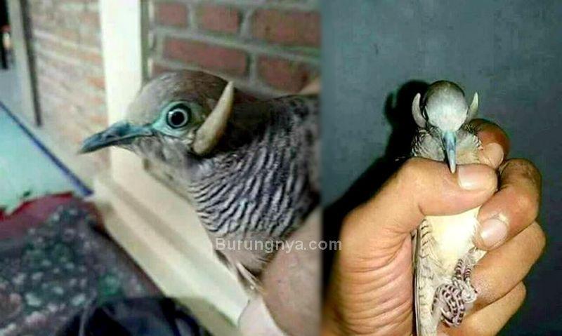 Burung Perkutut Bertanduk Langka (facebook.com)
