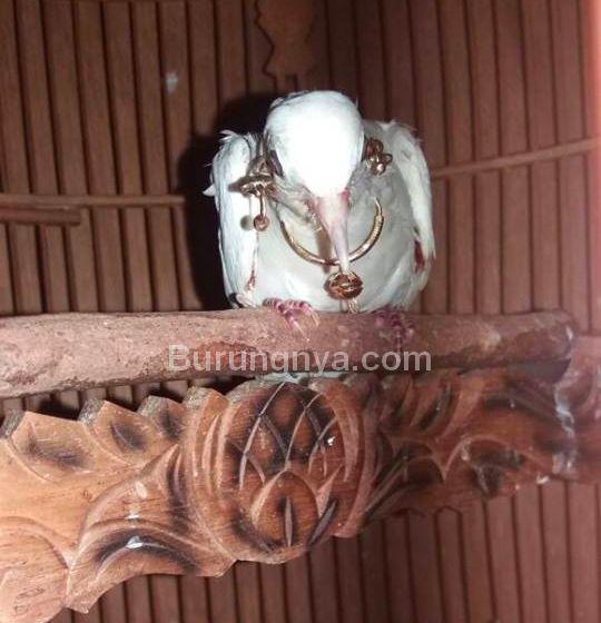 Burung Perkutut Putih Surung Derajat (facebook.com)