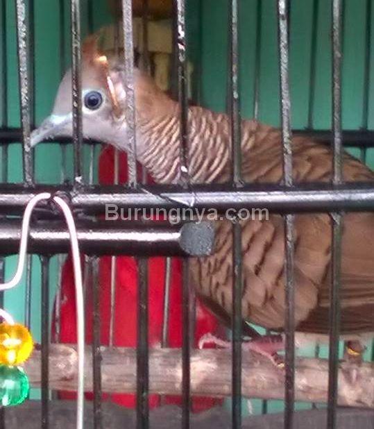 Burung Perkutut Udan Emas Rojokoyo (facebook.com)