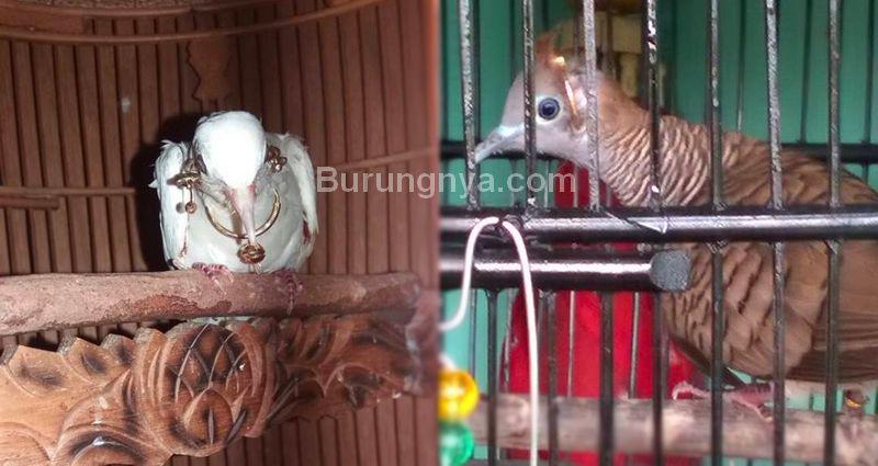 Burung Perkutut dengan perhiasan emas (facebook.com)