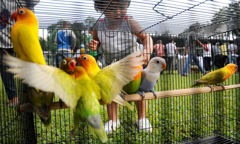 Karakter Lovebird di lapangan atau lomba (beritadaerah.co.id)