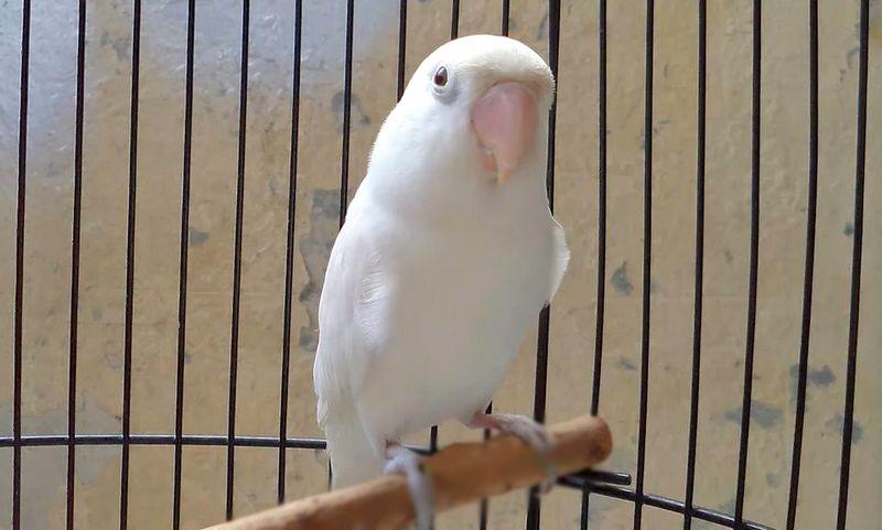 Lovebird Belalang Tempur Ditawar Rp 20 Juta, Ternyata Rahasianya Bawang Putih