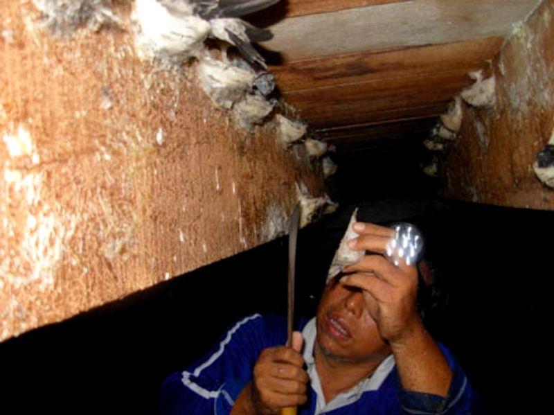 Panen sarang burung Walet (distributorsarangwalet.com)