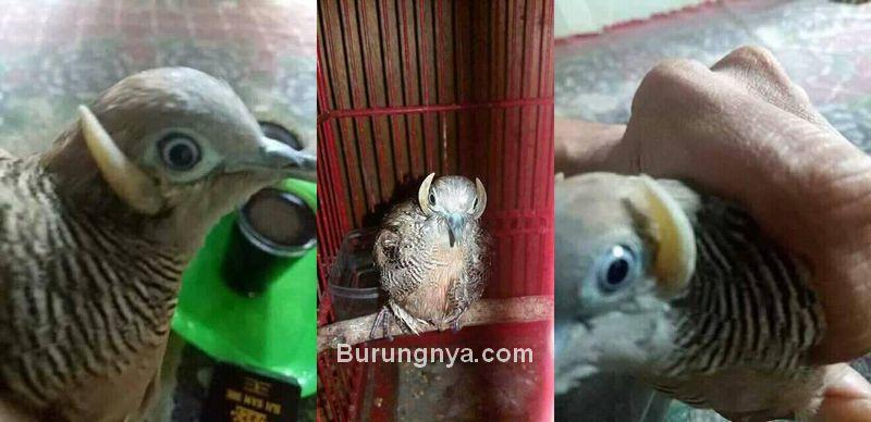 Penampakan burung Perkutut bertanduk (facebook.com)