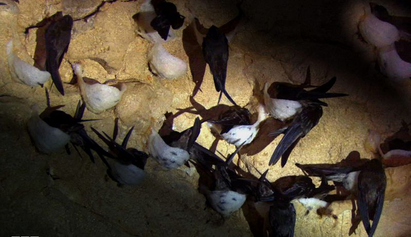 Sarang burung Walet (bbcamerica.com)