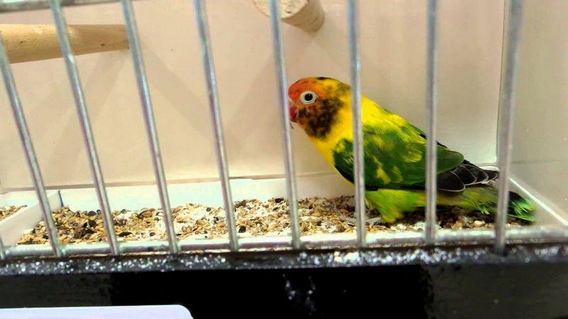 Lovebird Blorok (YouTube.com)