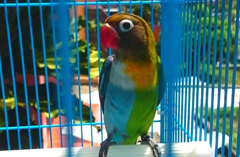 Lovebird Halfsider (Instarix.com)