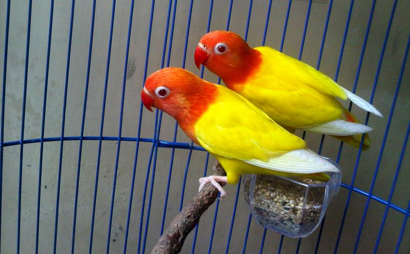 Lovebird Lutino (Budidayaperawatan.blogspot.com)
