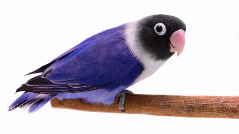 Lovebird Violet (Hogarmania.com)
