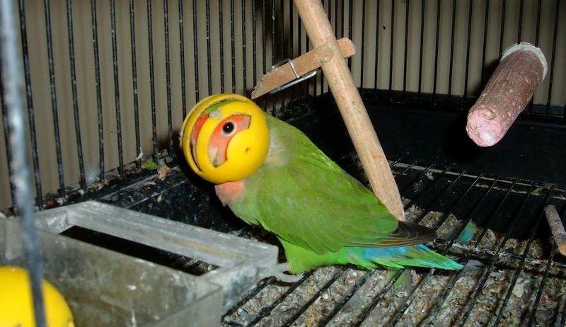 Lovebird pakai helm (reddit.com)