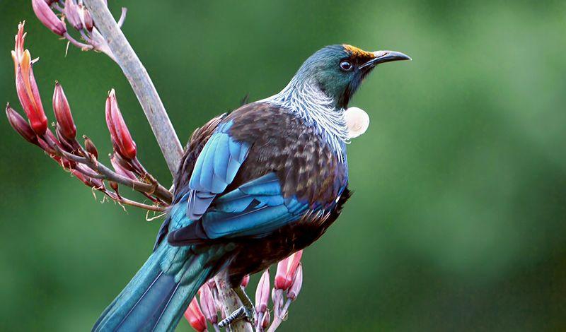 Burung Tui marah jika saingannya berkicau lebih bagus (flickr.com)